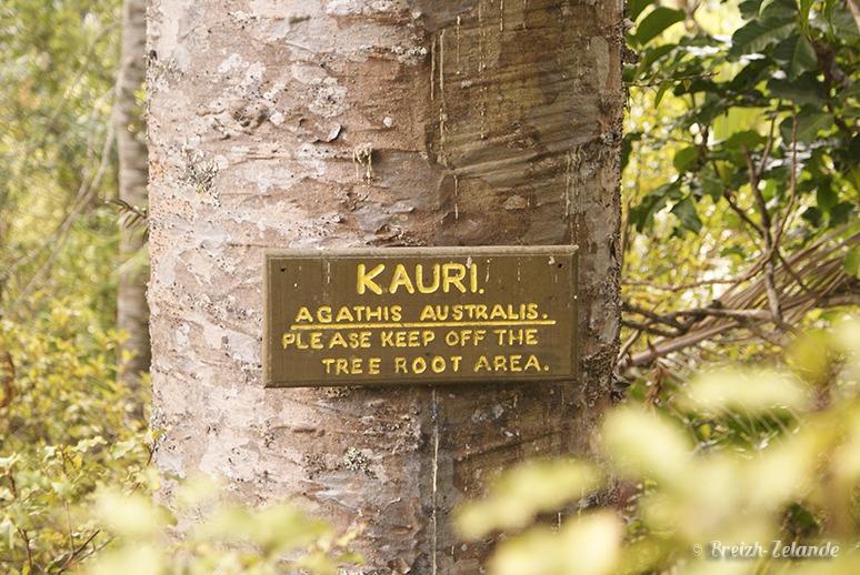 Kauri-Waiheke