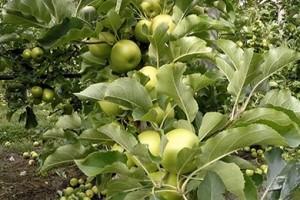 Après le fruit picking, l'apple thinning !