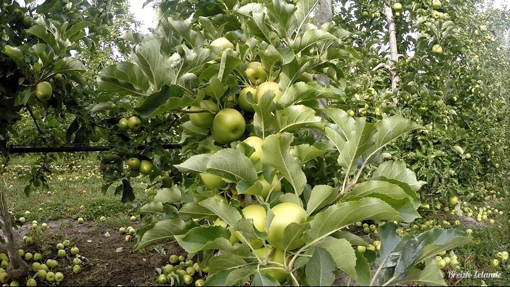 Apple thinning fruit picking