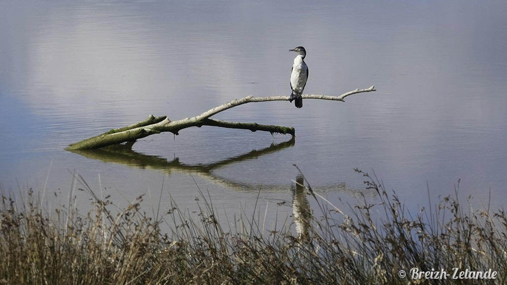 oiseau plongeur rabbit island